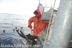 Longline Deckhand bringing in Sablefish in Alaska