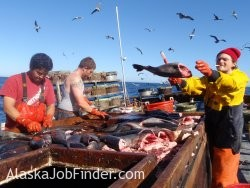 Longline Deckhand Crew Cleaning Blackcod Fish