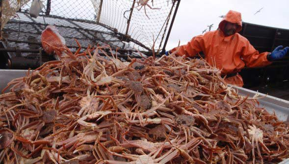 Alaska Opilio Crab Fishing Deckhand Sorts through Catch