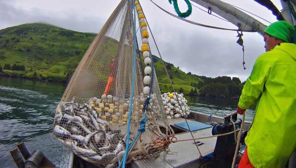 Fishing Boat Deckhand pull in salmon in net of Alaska Purse Seiner