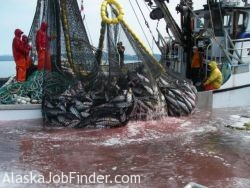 Alaska Commercial Salmon Purse Seiner Crew Hauling in Net with Lots of Salmon