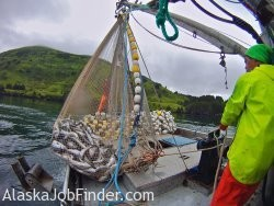 Alaska Salmon Purse Seiner Deckhand Pulling in Fishing Net Photo