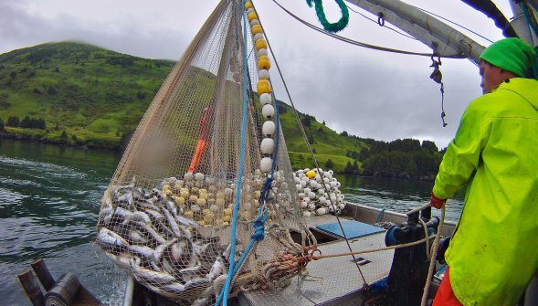 Fishing Boat Deckhand Jobs Alaska Job In Alaska Alaskajobfinder Cool Jobs Fisheries